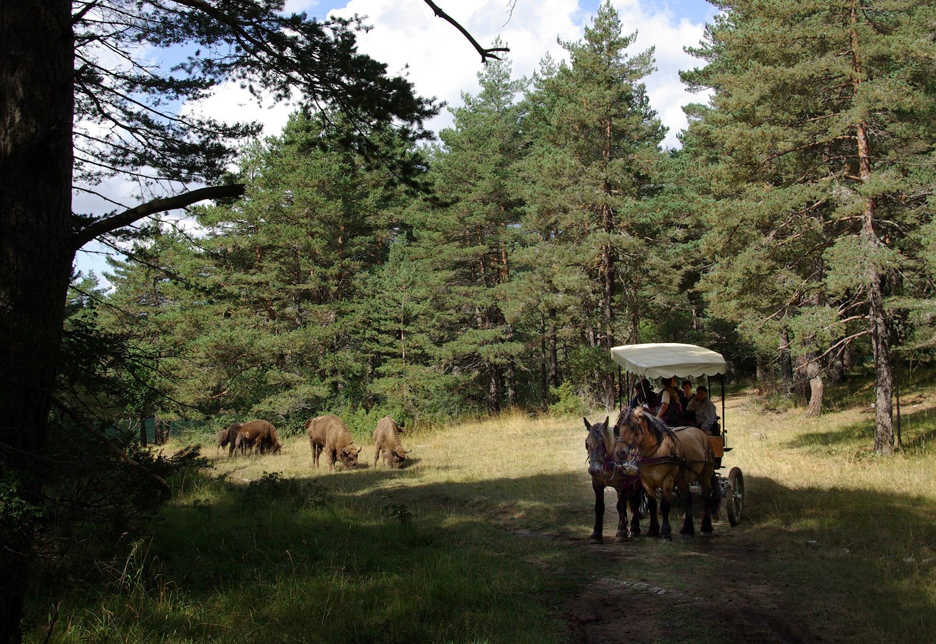 visite des bisons en calèches